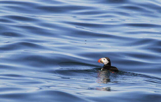 Where Do Maine's Atlantic Puffins Go for the Winter?