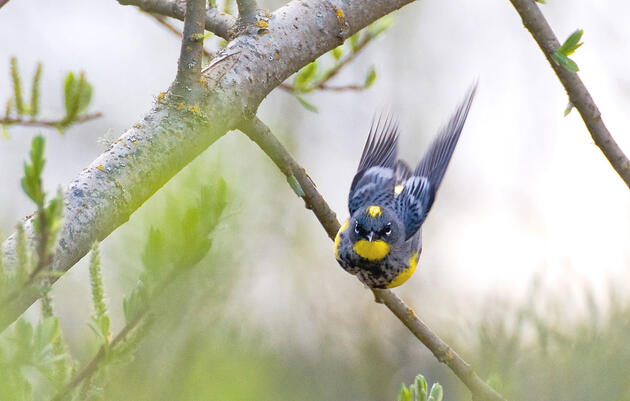 Rule #41: Identify Your First Warbler
