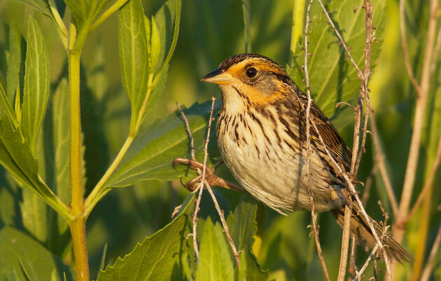 The Saltmarsh Sparrow Is Creeping Dangerously Close to Extinction