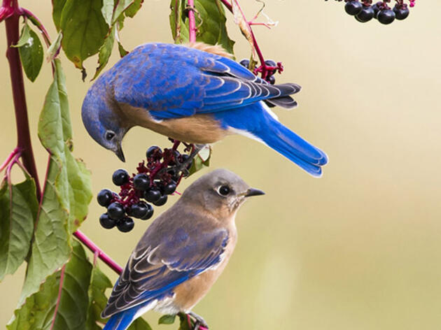 Photo of the Day: Eastern Bluebird