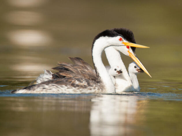 Photo of the Day: Clark's Grebe