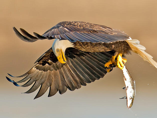 Photo of the Day: Bald Eagle