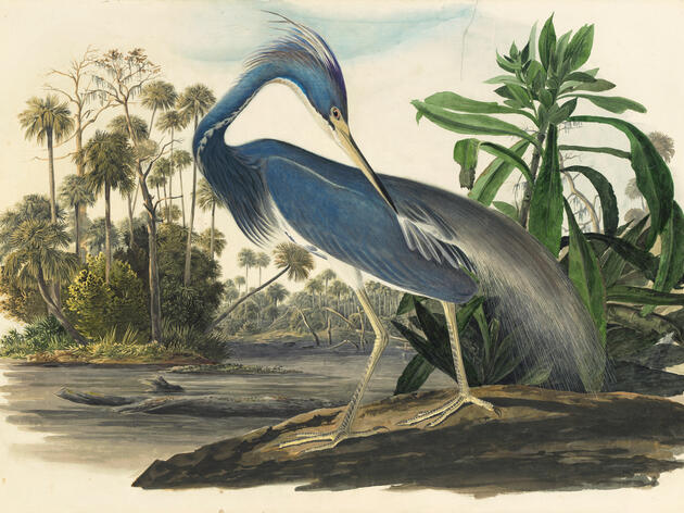 Audubon's Original Watercolors on Display at the New York Historical Society