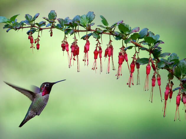 Photo of the Day: Anna's Hummingbird