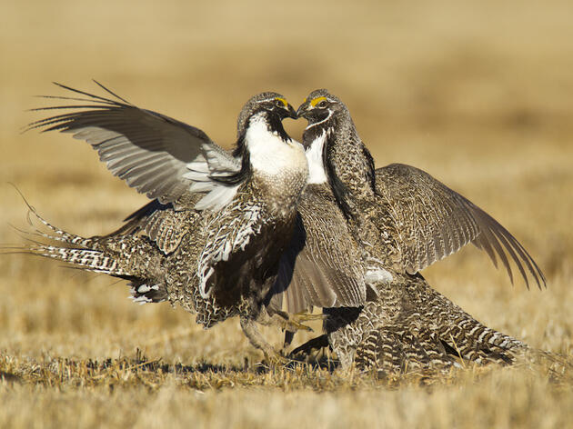 The Endangered Species List Gains the Gunnison Sage-Grouse