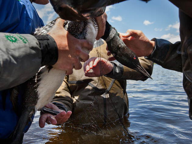 Pulling North America's Loons Back from the Brink
