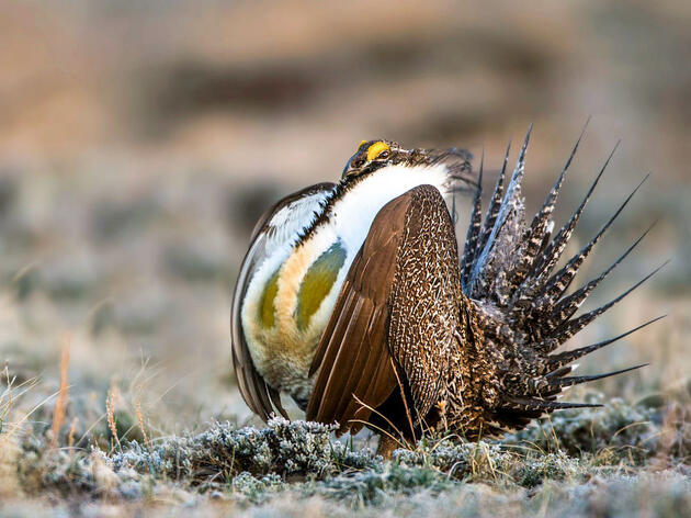 Audubon: Rewriting Sage-Grouse Conservation Plans Is Risky and Unnecessary