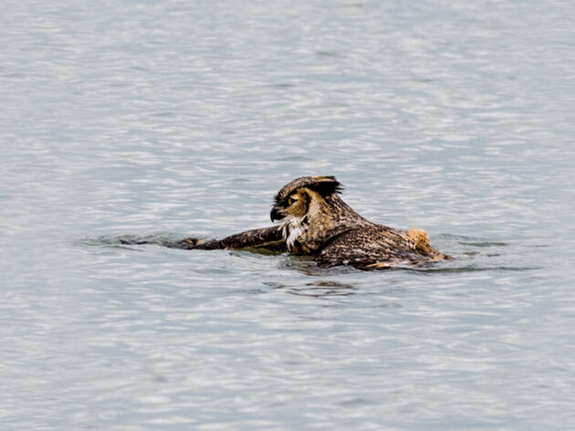 Can Owls Swim?