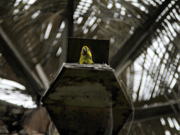 Parrot Conservation Changes a Catholic Tradition