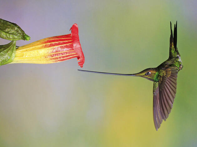 Photo of the Day: Sword-billed Hummingbird
