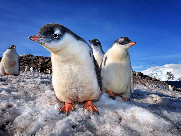Photo of the Day: Gentoo Penguin