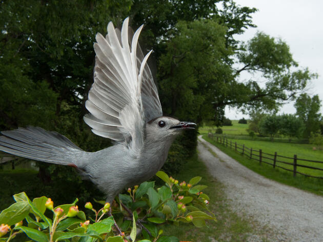 Freeze Frame: Gray Catbird, Caught In the Act