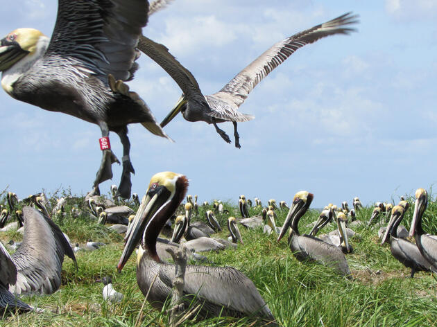 The Quest to Save a Pelican Rookery Decimated by Deepwater Horizon