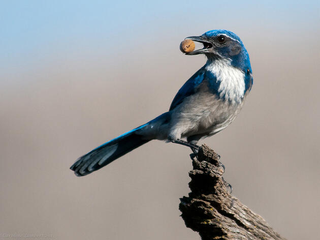 Photo of the Day: Western Scrub-Jay