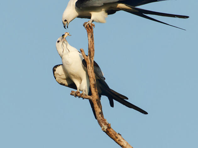 Photo of the Day: Swallow-tailed Kite