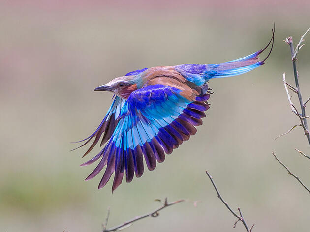 Photo of the Day: Lilac-breasted Roller