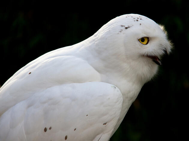 Snowy Owls: Bird Expert Kenn Kaufman Answers 12 Questions