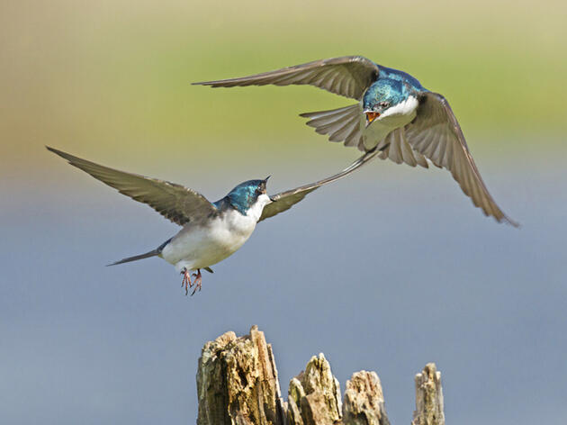 Photo of the Day: Tree Swallow