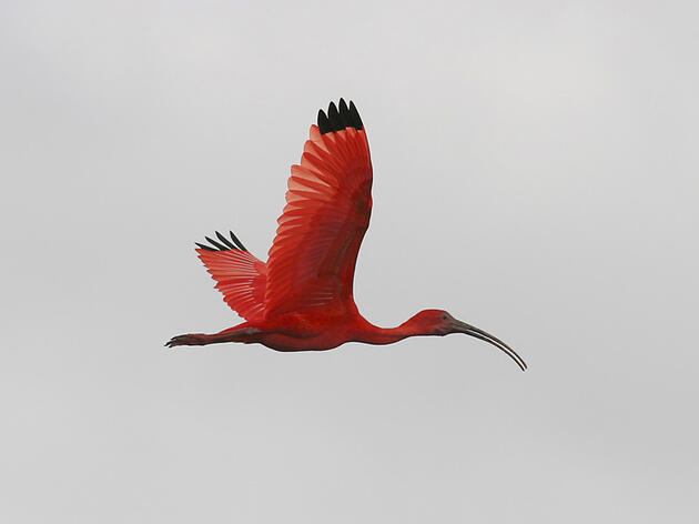 Photo of the Day: Scarlet Ibis