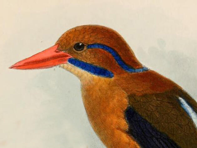 Why I Collected a Moustached Kingfisher
