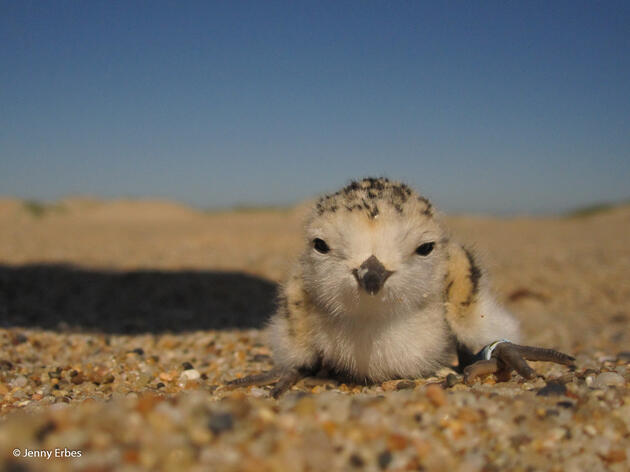 10 Steps to Protect Snowy Plover Chicks at the Beach