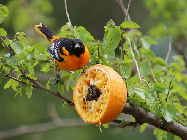 Make an Orange Feeder for Orioles