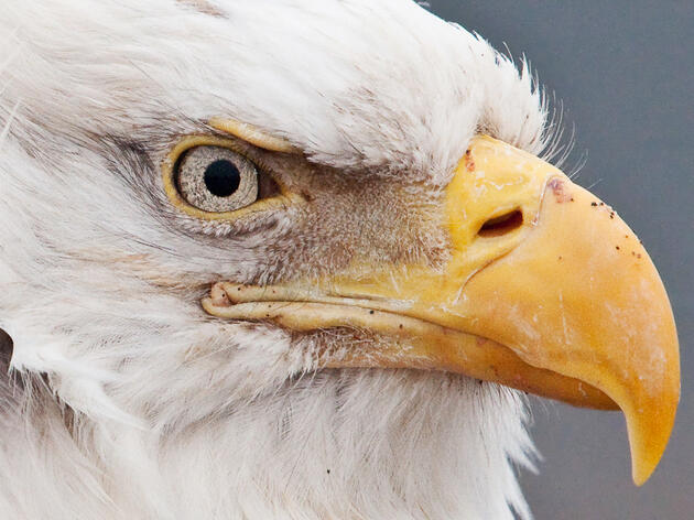 Bald Eagles Come to the Big Apple