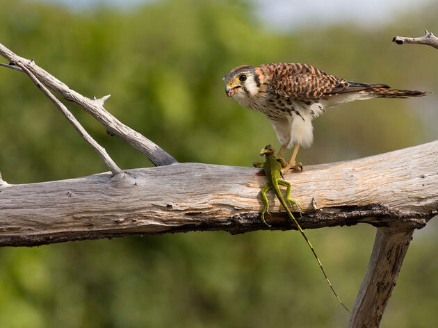 The American Kestrel, a Tiny Killer Built for Speed
