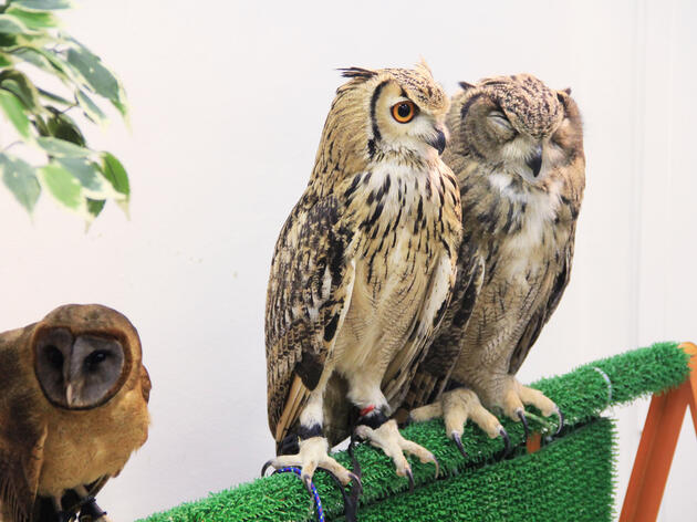 The Bird-brained Idea Behind Japan's Owl Cafés