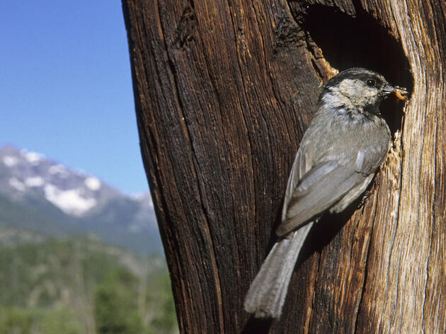 The Higher the Altitude, the Smarter the Mountain Chickadee