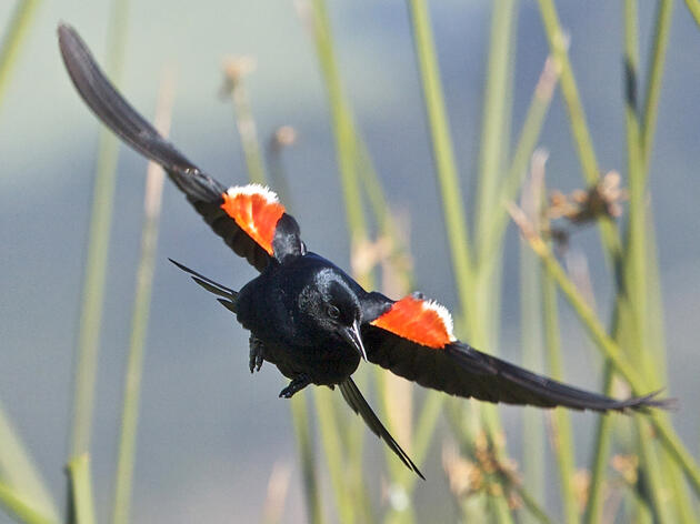 Getting the Tricolored Blackbird on the Endangered Species List