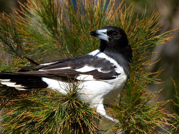 Pied Butcherbirds, Virtuosos of the Bird World, Croon Like Jazz Singers