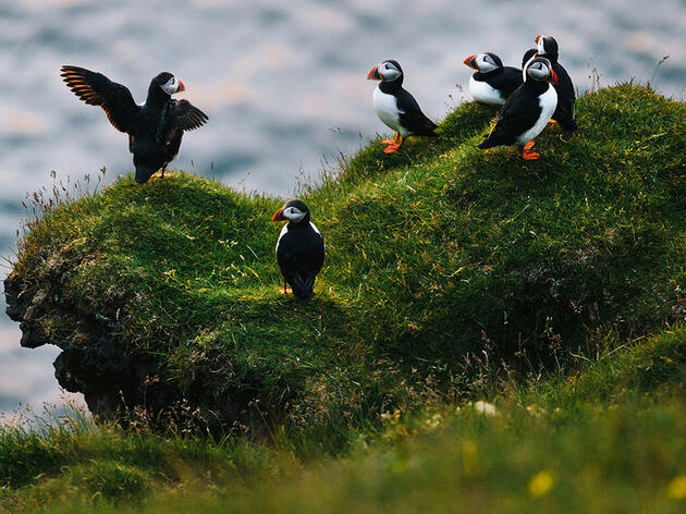 The Burning Man of Birding: Inside Iceland's Puffin Festival