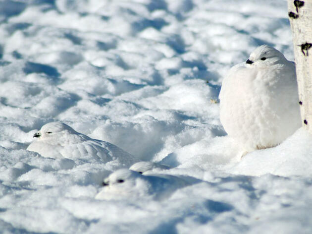 Ptarmigan May Be Tops in Adapting to Winter Weather