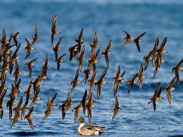 Arctic-Breeding Shorebird Populations Are Plummeting, with No Single Culprit