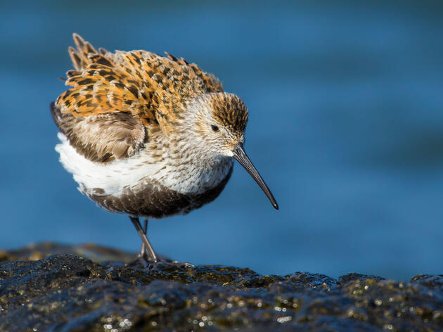 Have You Ever Heard a Sandpiper Sing?