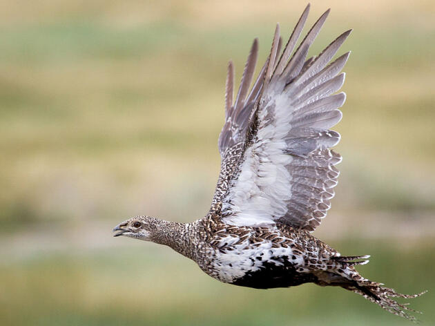 Audubon, Other Conservation Groups Call on Trump Administration to Honor Sage-Grouse Agreement