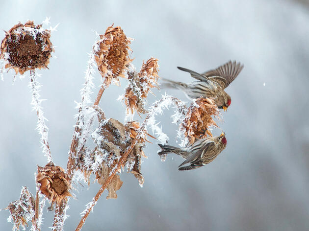 The Clever Ways Common Redpolls Survive Harsh Northern Winters