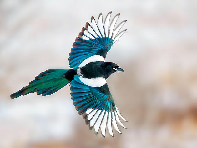 Do Magpies Like Stealing Shiny Things?