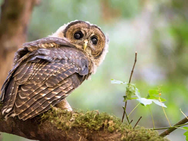 Northern Spotted Owls Bullied Onto California's Threatened Species List