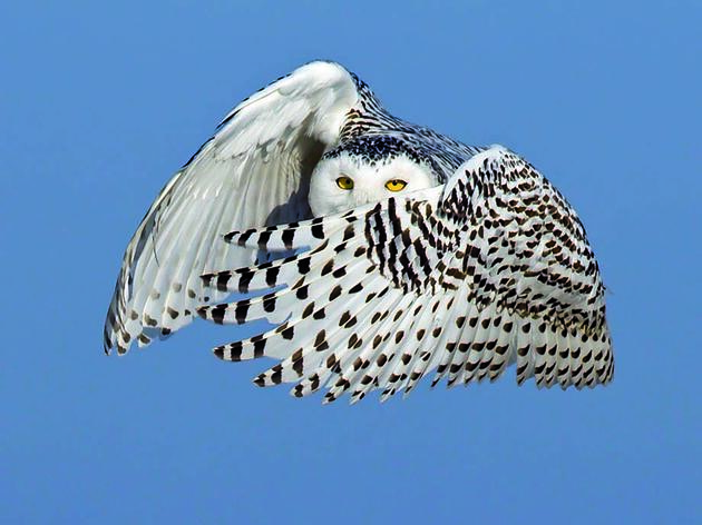 Notes from a Snowy Owl Invasion
