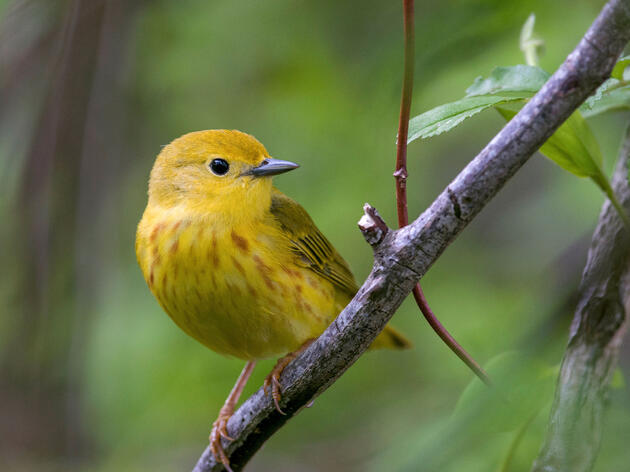 New Audubon Science: Two-Thirds of North American Birds at Risk of Extinction Due to Climate Change