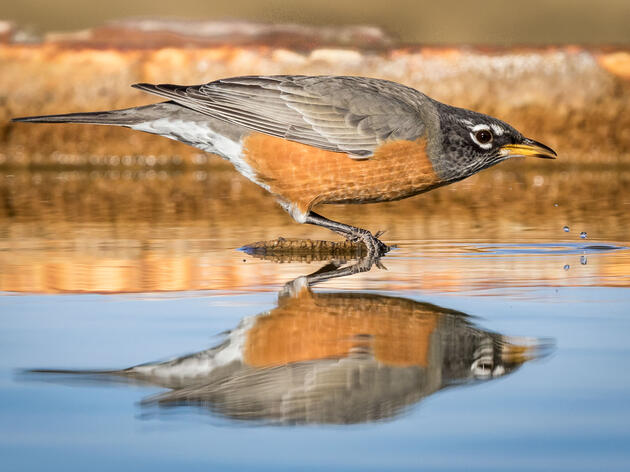 Ask Kenn Kaufman: Are American Robins Really Robins?