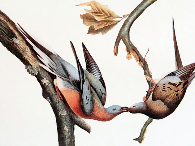 Research Sheds New Light on Passenger Pigeon Extinction