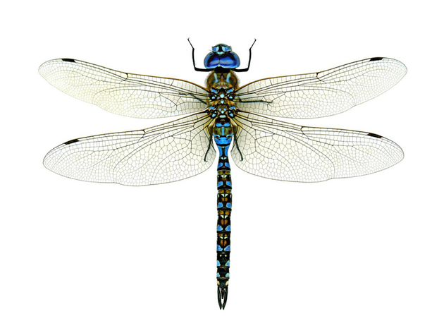 Chasing Dragonflies and Damselflies