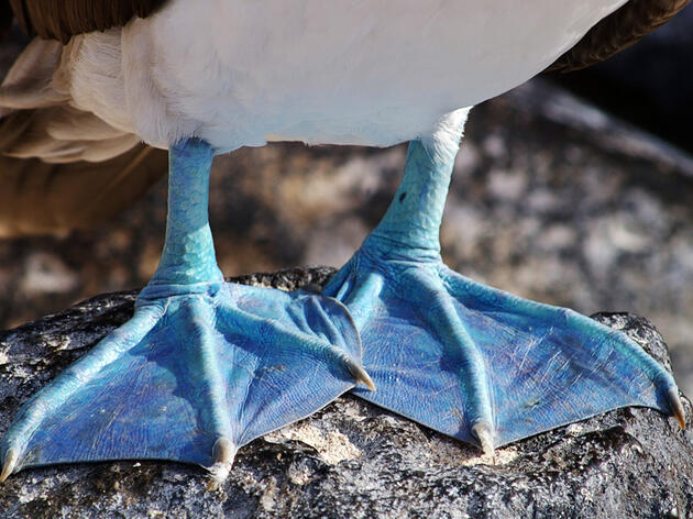 Blue-footed Boobies Take a Puzzling Dive