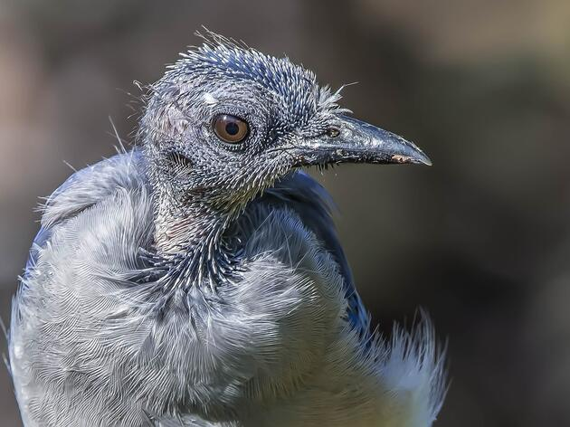 Can Birds Go Bald?