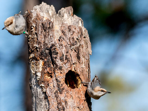 Nuthatches Take Up Nannying When There's a Shortage of Mates
