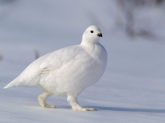 Meet the Bird With Built-In Snowshoes