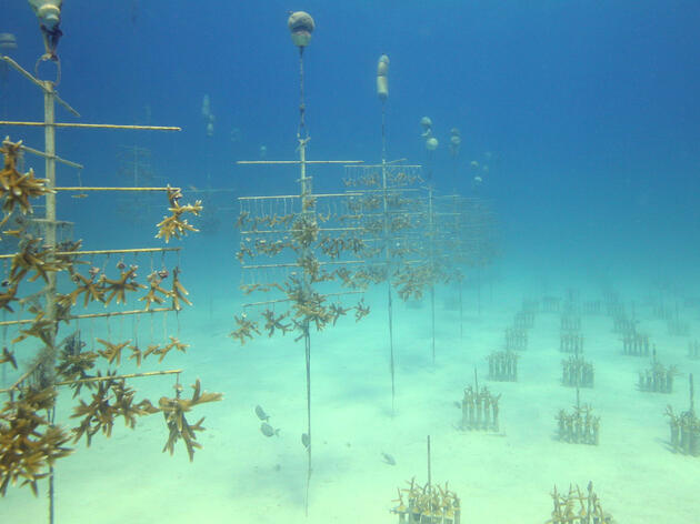 Raising Baby Corals for Reef Restoration